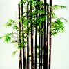 Bamboo Screen Silk Plant